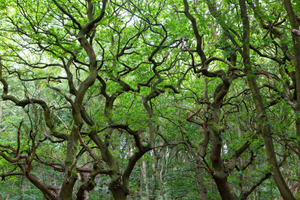 Looking up at a canopy of trees at Brayton Barff